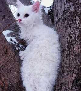 Cirtaini matu kaķēns: The LaPerm
