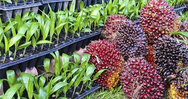 Mikä on paras hiuksillesi, punaiselle palmuöljylle tai palmunydinöljylle?