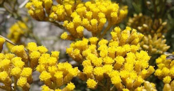 Per què loli helichrysum us pot ajudar a créixer el cabell