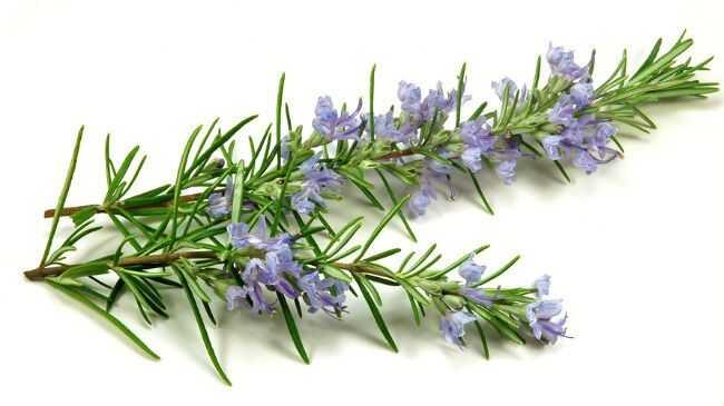 9 razloga za dodavanje Rosemary na kosu i zdravstveni režim