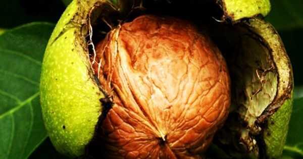 Prednosti mongongo ulja za kosu