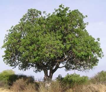 Klobása stromu legendárne botanické vlastnosti
