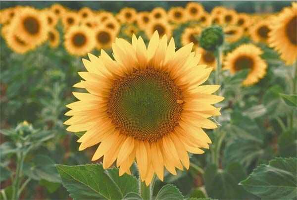 Slunečnice jasná čistá volba pro lepší pokožku a vlasy