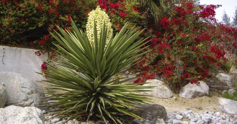 Како да го користите yucca за здраво скалпот