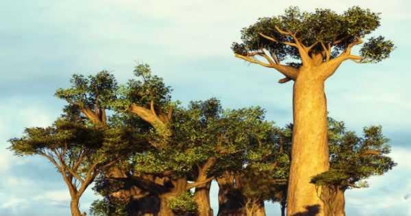 Ang baobab langis ang bagong langis ng argan?